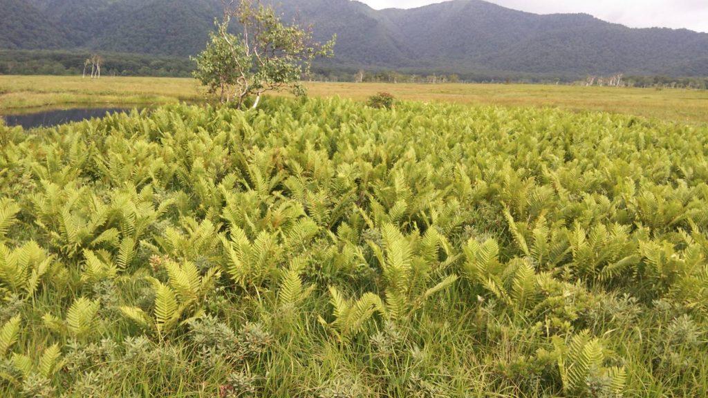 シダっぽい植物が大量にいる